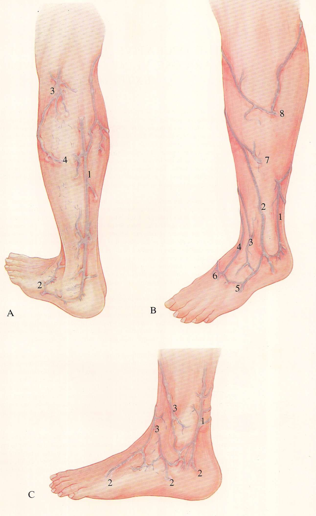 The Short Saphenous System | Varicose veins
