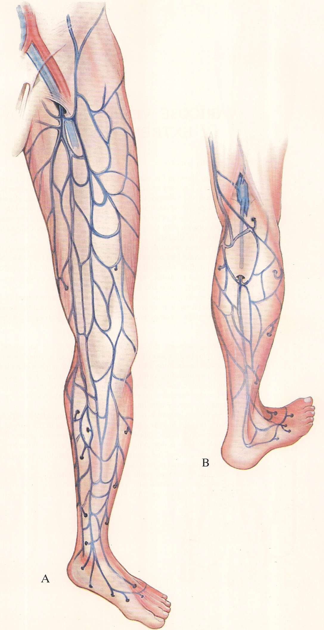 The Anatomy – Varicose veins of the lower extremity | Varicose veins ...